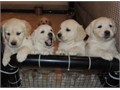 well trained golden retriever puppies well trained golden retriever pup