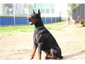 Doberman imported from Poland a young male stud for stud service He is currently in training for hi