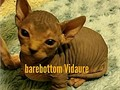 Barebottomsphynxcom hairless kittens available now ready to go now ticaorg bambino sphynx kitten