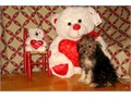 Purebred Tiny Toy Poodle PupsCKC REG8  16 Weeks OldFemale Pup900Male Pup600-900