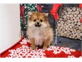 Breed PomeranianNickname DasherDOB September 09 2019Sex Mal