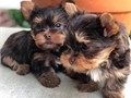 Akc register  Yorkie available for more details and pictures Text Or Call 650-8
