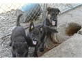 AKC German Shepherd Puppies 9 weeks old 4m3f solid black btan bigheavy boned Sire100lbs s