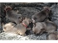 Amazing and very playful French bull dog puppies ready to go They are currently in need of a new pe