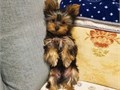 adorable male and female Yorkie puppies for good homes only contact us for more information