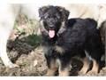 10 week old black and tan German Shepherd long coat female puppy looking for her