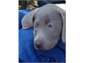 AKC Labrador Retriever Puppies The mom is our sweet and beautiful AKC silver factored Chocolate L