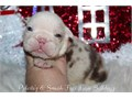 Beautiful chocolate Merle female amazing markings She will be ready Dec 23 just in time for that sp