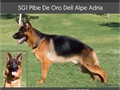German Shepherd Super QualityTop litterparents are Pibe and Lea they are the GSD enthusiasts