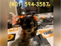 These awesome yorkie babies are ready for new homes Theyre up to date with s