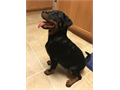 Rottweiler from German bloodlines Athena is a 5 month old female She was the pick of the litter fr