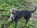 8 month old male Charcoal Lab  pick of litter changing directions so hes available used to beach