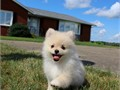 Gorgeous Female Pomeranian Puppy named FIONA DOB 6-2-17 current on vaccines  dewormings Vet che