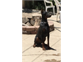 AKC DOBEMAN PUPSFour weeks old puppies really nice puppies pure  European bloodline  Up-to-date