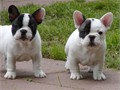 Gorgeous French Bulldog puppies with a sweet personality These cuddly pups are vet checked and up t