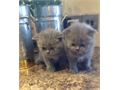 able BHS kittens for saleThese little ones are purebred kittens raised in our homeTEXT US AT  70