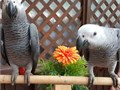 Beautiful Male And Female African Grey Parrots For SaleAny questions feel fr