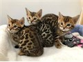 Diligent Bengal Kittens for Sale healthy and playful kittens top quality kittens Contact now at 6