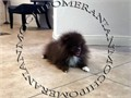 AKC Brown Male Pomeranian Gorgeous Teddy Bear face His estimates 4-5 lbs Huge thick coat nice ta