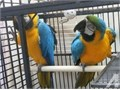 Breeding Pair Blue And Gold Macaws Parrots text me at 213 290-x1x9x6x3