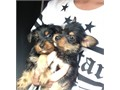 We are now relocating so we want to give out these our cute lovable Yorkie babbies because of our pr