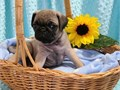 Pug puppies up for adoption for more info and pics please call or send text to 4355150895 thanks