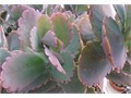 drought tolerant 1 gallon 1 foot tall succulent grey scalloped edge leaves many other  Kalanchoes av