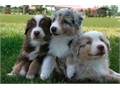 Playful Australian Shepherd puppies seeking for good family with positive energy and great members