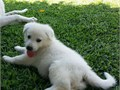Purebred All White German Shepherd Puppies Ckc Registered Vaccinated Dewormed 10 weeks old St