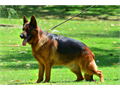STUD SERVICE   Fido von Modithor Imported Germany  Male 323893-2379Sire Schumann von Tronje I