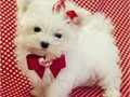 Very healthy and adorable Maltese miniature puppy she is a female home trained and playful baby she