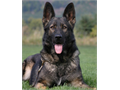 Male Shepherd WANTEDOur active duty family is seeking to embraceadopt a male German Shepherd t