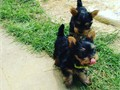 Tiny Yorkie Puppies For Adoption Very Playful and friendly Home breed and well socialized Comes w