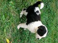 Saint Bernard cute pups properly known as Beatholving are rady to go to their fo