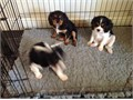You will full in love with our stunning cavalier king Charles puppies on first sight Looking for ve