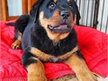 Special little Rottweiler puppiesCome choose your special little Rottweiler puppies now They
