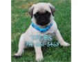 Pug Puppies  super cute 8 week old Pugs available they are indoor raised healthy and they have th