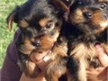 559-712-4441 Yorkie for good home text only for more information Thanks