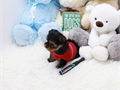 a beautiful 2 months old tiny teacup Yorkie He has an extremely adorable baby doll face a tiny bod