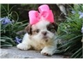 beautiful puppies Shih Tzu pure breed 7 weeks of birth vaccination and deworming very healthy v