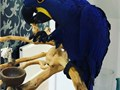 This is Rocky and Rose Road both are beautiful hyacinth macaw He is 3 years old Text Us for more