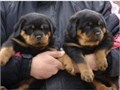 Quality Rottweiler puppies availableQuality Rottweiler puppies available for caring family Please