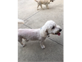 Very lovely white poodle mix  5 years old  Male Licensed and had all shotslike to play with ki