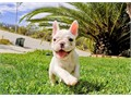 Blanca is a Cream  White female French Bulldog She is up to date on her vaccines and vet checks an