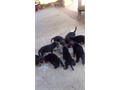 German Shepherd puppies 8 wks old 1st shots 4males and 4females blktans and sables beautiful c
