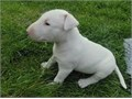 High Quality Bull Terrier Puppies available for saleText or call     630 384-2099     for more de
