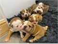 Beautiful bulldog pup absolutely lovely quality babys only 10 weeks at the moment And there makeing