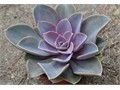 many 1 gallon gorgeous purple succulent many other plants available Cash Only 1183 N Bonnie Beach Pl