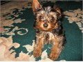 Beautiful loving Yorkie Puppies very sweet and good with kids Has all shots up to date They are cl