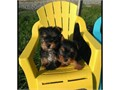 Beautiful Teacup AKC registered Yorkie puppies All papers adhered to them with all exporting dues gr